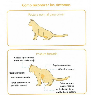 gato-olor-postura-pis-o-enfermedad-tracto-urinario-inferior-felino-flutd_1_771755