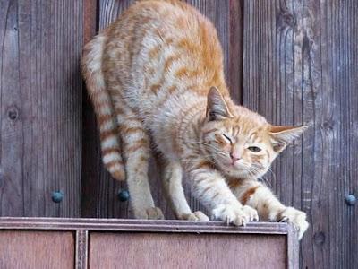 gato rubio desperezandose