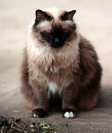 cat-mammal-gray-fauna-whiskers-fat-605724-pxhere.com