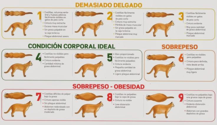 Condicion-corporal-gato