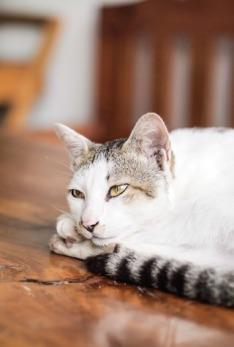 white-pet-kitten-cat-mammal-close-up-1348932-pxhere.com